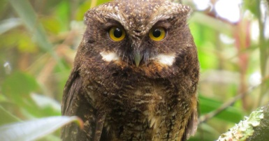 white-throated_s_owl_Sebastian_Berrio_og